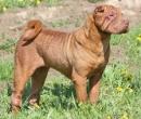 Shar Pei Dog - chinesischer Faltenhund