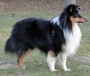 shetland sheepdog sheltie1