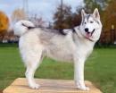 Siberian Husky schlittenhund