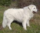Slovensky Cuvac - slowakischer tschuwatsch - Slowakischer Schäferhund - Slovacian Watchdog - Herdenschutzhund