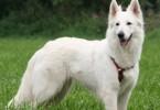weisser schweizer schaeferhund