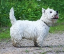 Westi - west highland white terrier