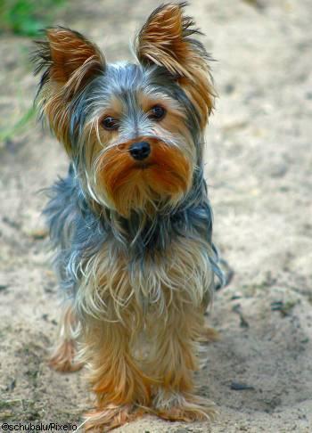 Yorkshire-Terrier - Yorkie
