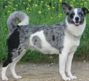 Australian Shepherd- Australian cattle Dog