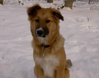 bordecollie-collie-schaeferhund-sam