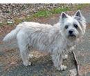 cairn-terrier