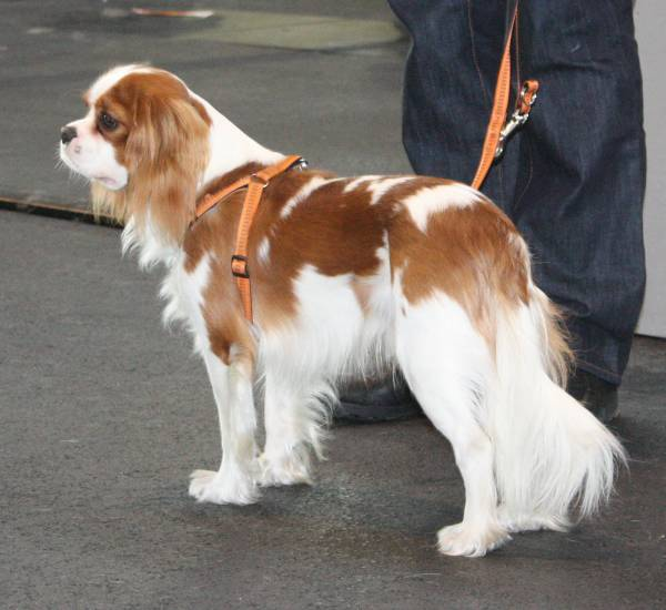 cavalier-king-charles-spaniel-rot-weiss