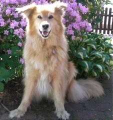 collie-schaeferhund-Husky