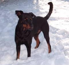 dobermann-schaeferhund