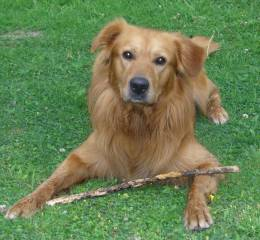 golden-retriever-berner-sennenhund-labrador