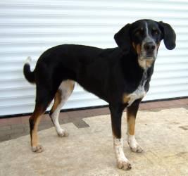 luna-bernersennen-schaeferhund-drahthaar