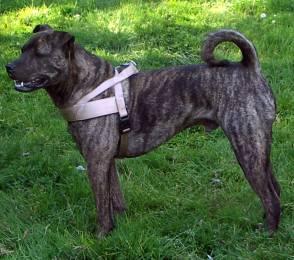 shar-pei-tibet-dogge-mastiff