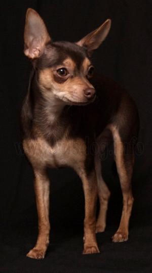 russkiy-toy-terrier
