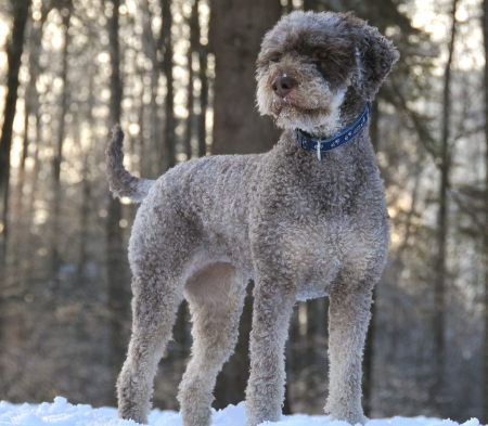 Lagotto romagnolo trueffelhund