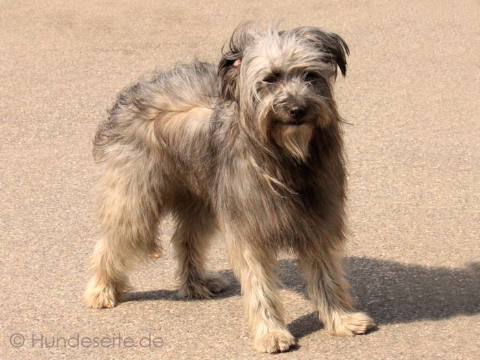 Berger des Pyrenees a poil long - Pyrenäenschäferhund langhaar