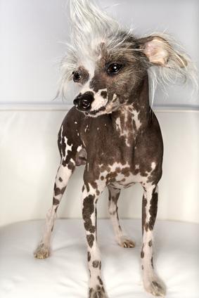 Chinese Crested , chinesischer schopfhund Nackthund