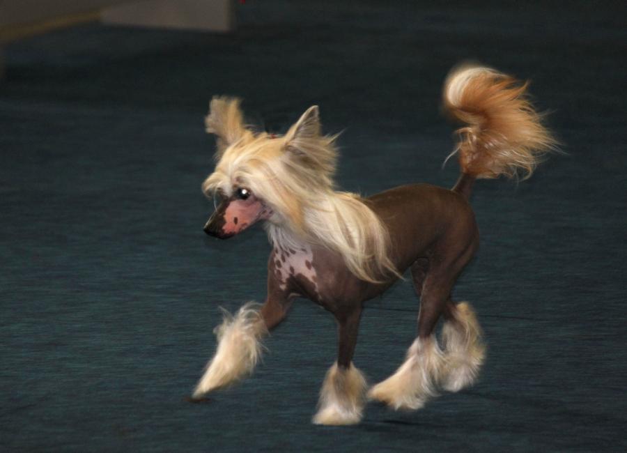 chinese crested chinesischer schopfhund chinesischer nackthund