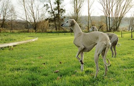 Sloughi, Arabischer Windhund, Oskai
