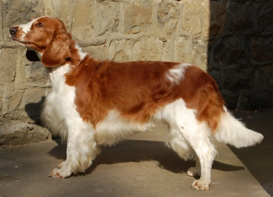 welsh springer spaniel1