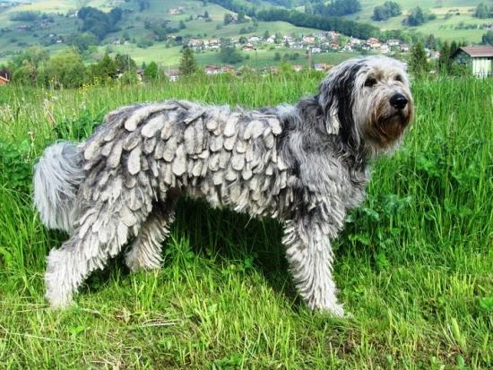 bergamasker hirtenhund - bergamasco