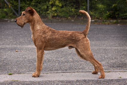 Irish Terrier Standbild