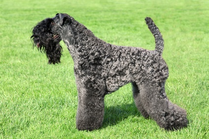 Kerry Blue Terrier - Blauer irischer terrier