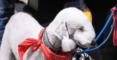 bedlington terrier2
