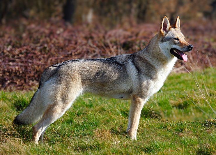 Tschechoslowakischer Wolfhund - Tschechoslowakischer Wolfshund