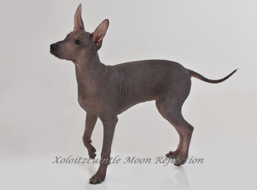 Xoloitzcuintle - Xoloitzquintle, Xolo, Mexikanischer Nackthund