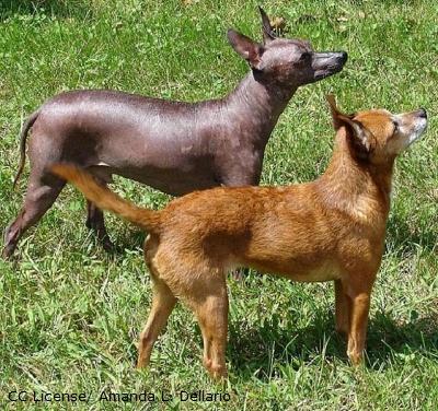 Xoloitzcuintle-behaart u hairless