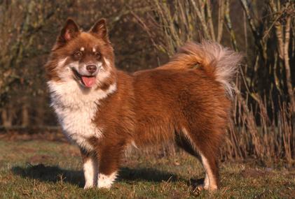 Finnish Lapphund - finnischer Lapphund - Suomenlapinkoira - Lapinkoira