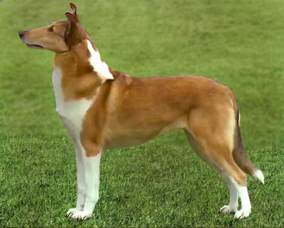 smooth collie kurzhaar collie