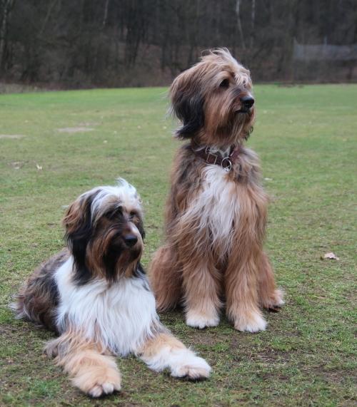 Wäller Hund Briard Aussie