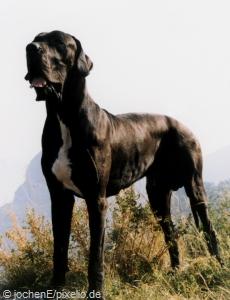 dogge schwarz