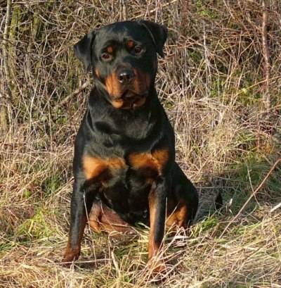 rottweiler-black&tan