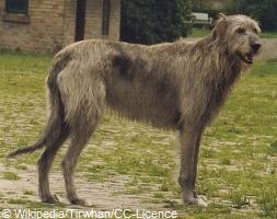 wolfhound-greying