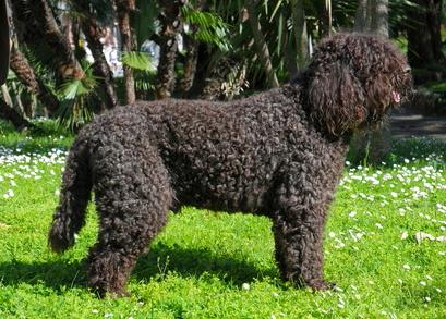 Barbet Französischer Wasserhund