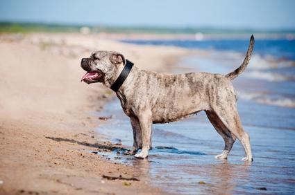 majorcan mastiff - Perro dogo mallorquin - Perro de Presa Mallorquin - Mallorca Dogge