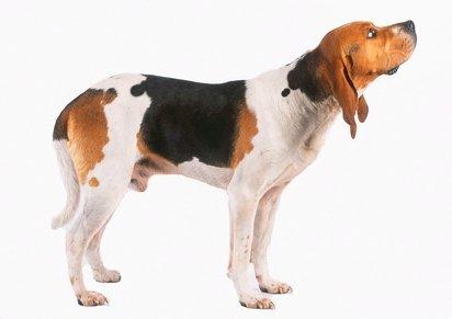 chien d artois