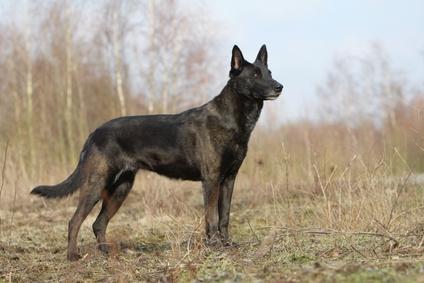 Hollandse Herdershond Holländischer Schäferhund
