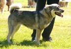 Jaemthund schwedischer elchhund