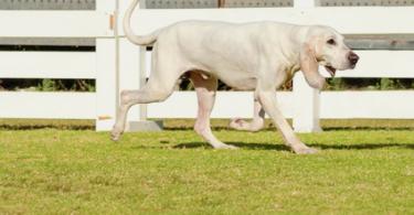 porcelaine hund porcelaine dog