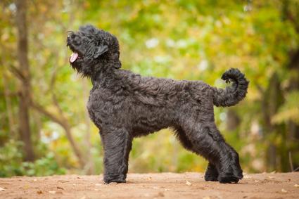 Schwarzer Russischer Terrier - Black russian terrier
