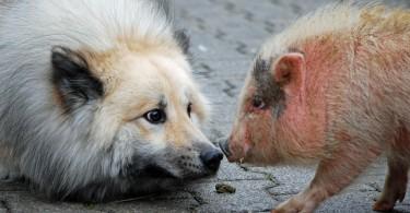 ist schweinefleisch giftig fuer hunde