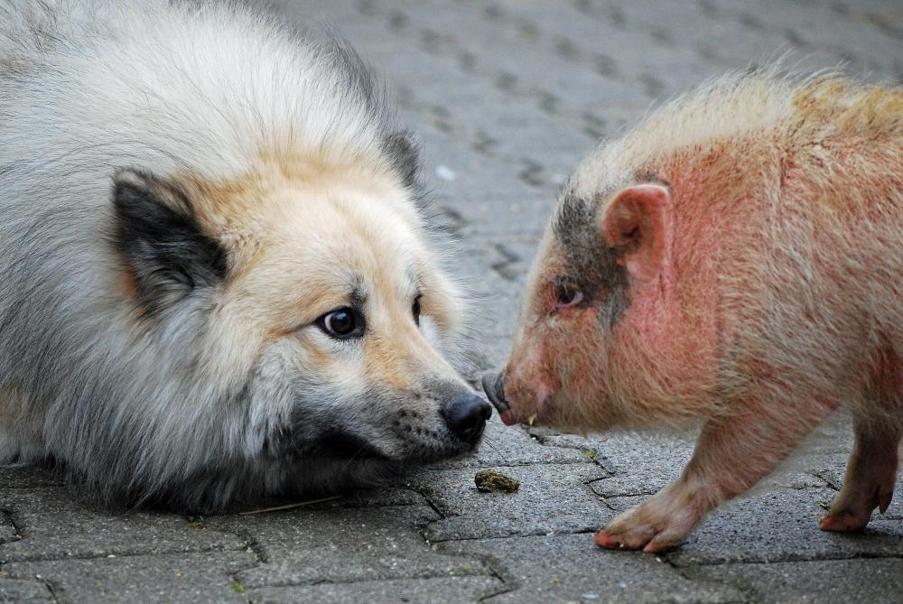 ist-schweinefleisch-giftig-fuer-hunde