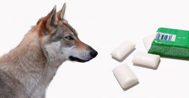 xylit-giftig-fuer-hunde
